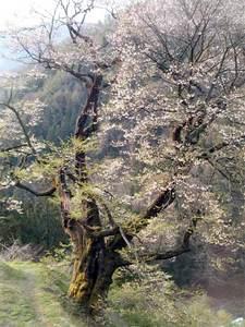桜西から縦.jpg