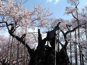 神代桜全体横1.jpg