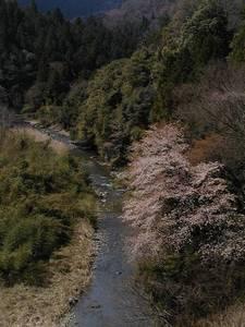 taninosakura.jpg